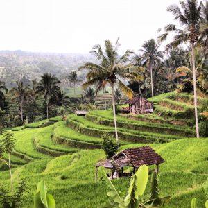 Bali - Riziere